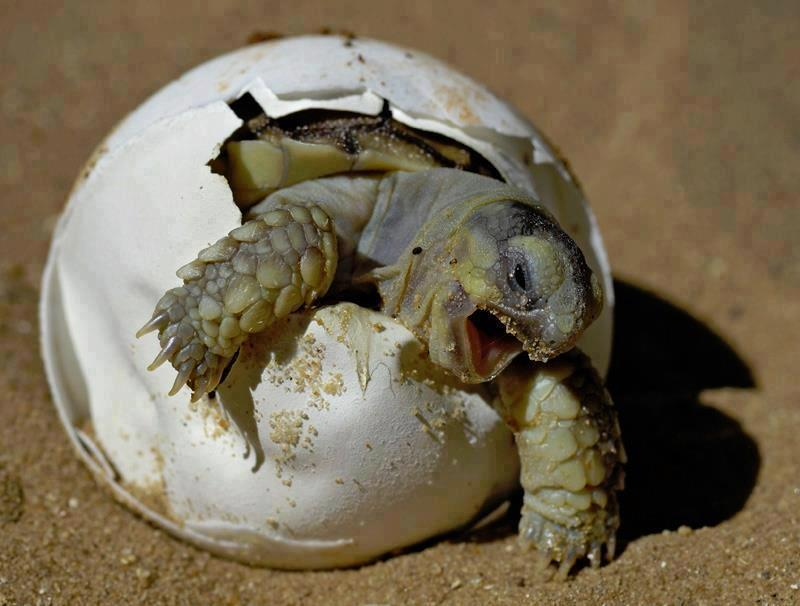 Eischlupf einer Schildkröte