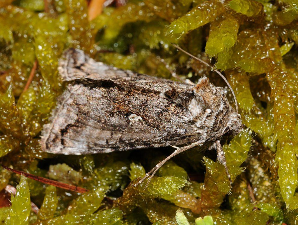 Aschgraue Höckereule (Trichplusia ni)