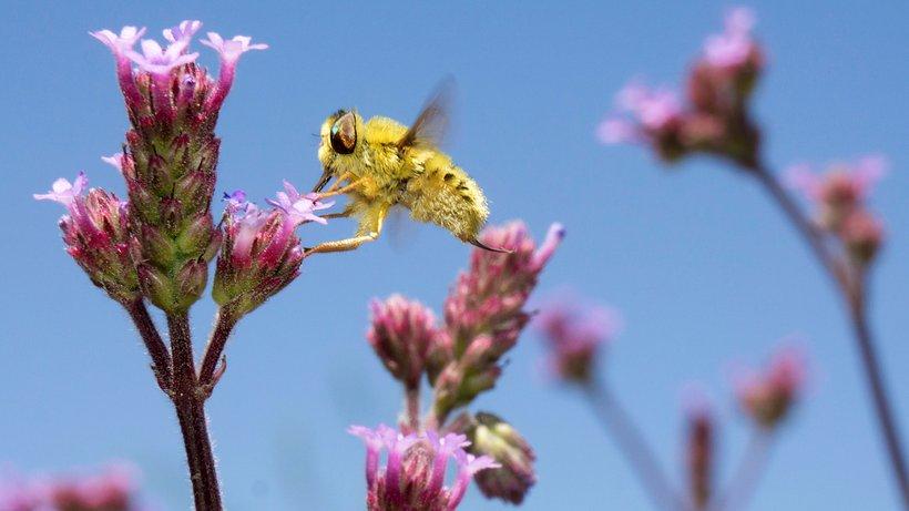 Insekt beim Bestäuben einer Blüte