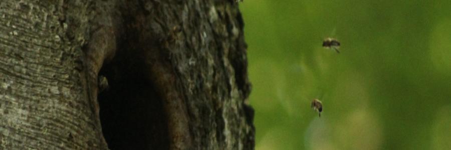 Bild Bienen-Baumhöhle