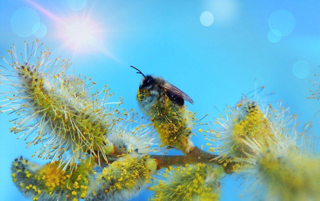 Biene auf Weidenkätzchen - Foto: Krzysztof Niewolny auf Pixabay